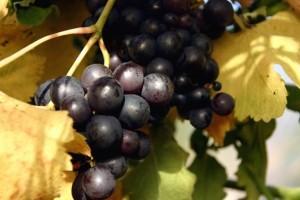 grozdje.jpg