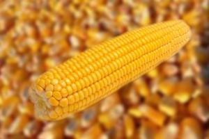 Očekuje se prinos od 6 miliona tona kukuruza