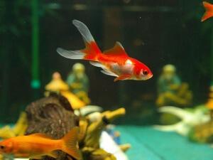 zlatna-ribica