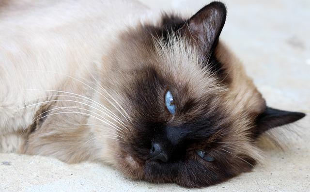 mačka_pixabay