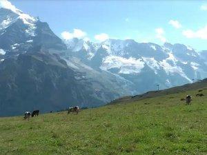 krave, pašnjak, alpi_youtubeprintscreen