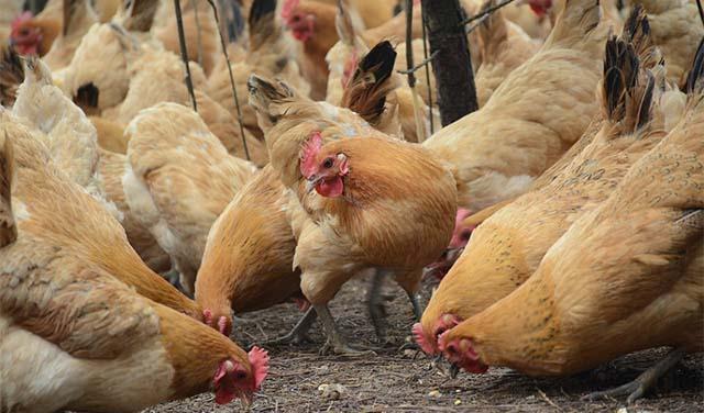 životinjska-farma-kokoške-pix