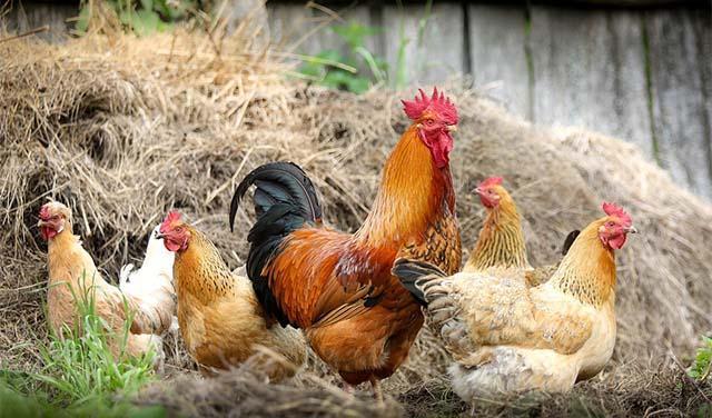 kokoške-živina-pixabay