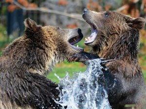 medved_grizli_pix